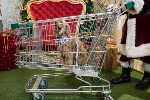SMH NEWS- Willow a Cavoodle arrives in her Westfiled Chariot for photos with Santa at Liverpool Westfiled ( Owner Vicky ...