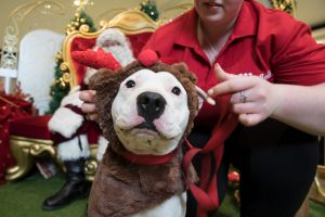 """""""Rocky"""" an English Staffy cross Pitbull gets ready for his photos with Santa."""