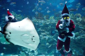 A diver in a Santa Claus costume waves after feeding fish as part of the upcoming Christmas celebrations at Aquaria KLCC ...