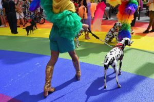 Dalmatian and the public use the repainted rainbow walk in Taylor Square ahead of Mardi Gras Photo Nick Moir 8 feb 2019