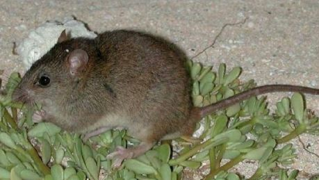 The extinction of the Bramble Cay melomys is understood to be the first mammal killed off by human-led climate change.