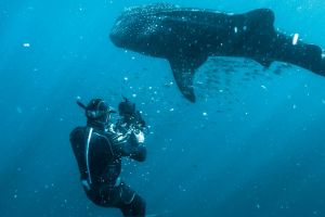 Cameraman Jon Shaw films a whale shark at Ningaloo Reef.
