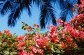 Disguised as a man, Jeanne Baret collected specimens of bougainvillea.