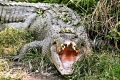 The state Environment Department said the crocodile was about 2.5 metres long.
