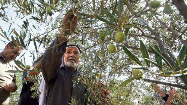 Palestinian farmers harvest their olives with the help of foreign volunteers in the village of Umm Salamunah.