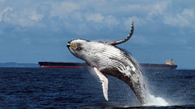 The Rudd government has decided to take legal action against Japan over its hunting of whales.