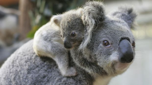 At risk: A koala mother and baby.