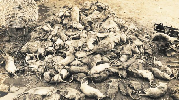 Rodent round-up... dead rats in Sydney during the plague epidemic in 1900.