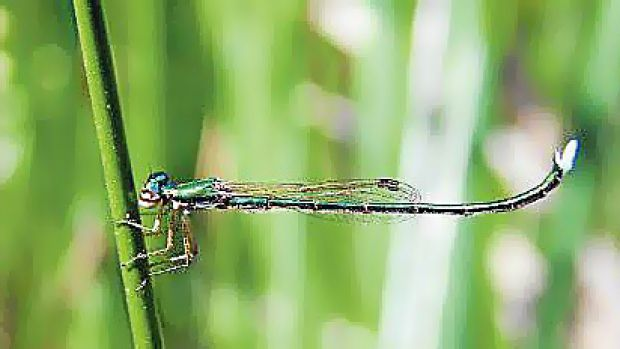 The endangered Ancient Greenling damselfly.