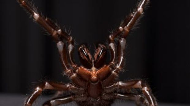 Up close and frightening ... a female funnel-web spider at the Australian Reptile Park.