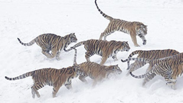 A Siberian tiger runs away with a chicken tossed by tourists at the Harbin Tiger Park in Harbin in a file shot taken in 2008.