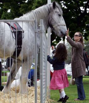 Australia's tallest horse, Luscombe Nodram, otherwise know as Noddy.