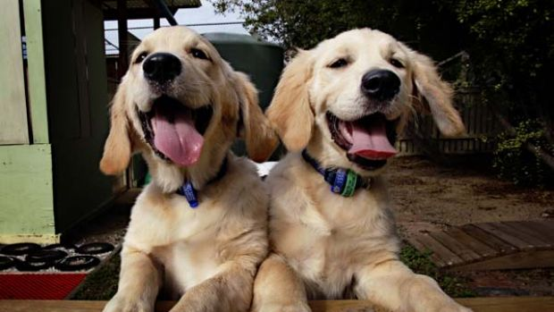 Seeing eye dogs in the making … but golden retriever puppies such as Zahra and Ziva need a genetic test to reveal if ...