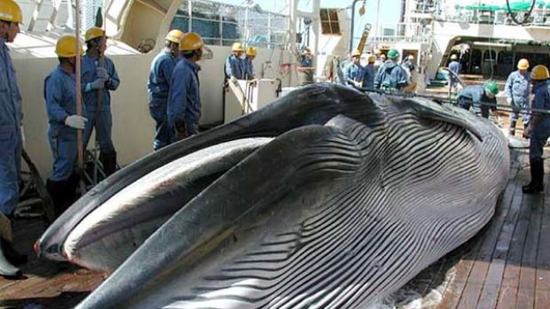 A whale lies on a Japanese  whaling ship in the northwestern Pacific Ocean in   file photograph.