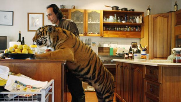 What's for dinner?... Clive Brookbanks in his kitchen with Kinway. The tiger has been getting a bit cheeky of late and ...
