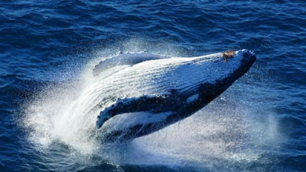 Whaling quotas ... Tokyo says cuts are too drastic.