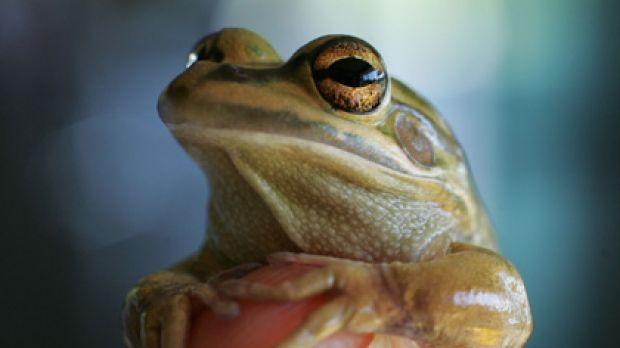 Green and golden bellfrog.