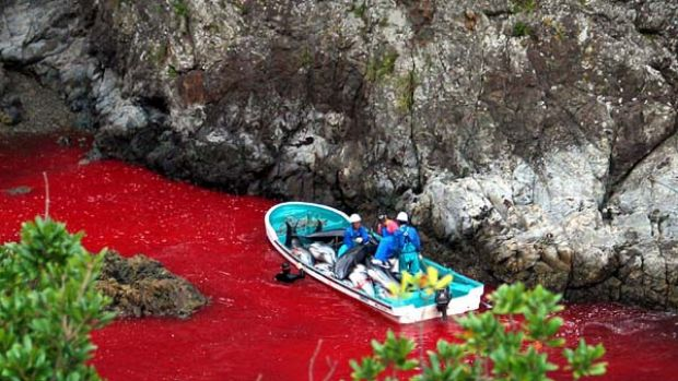 This file photo taken on October 6, 2003,  shows Japanese fishermen on a boat loaded with slaughtered dolphins at a ...