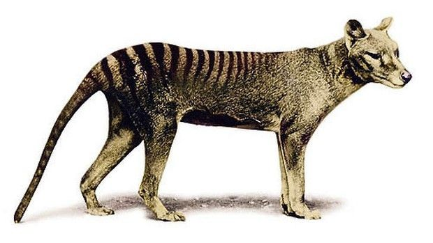Potentially the cousin of a more ferocious killer: The Tasmanian tiger.
