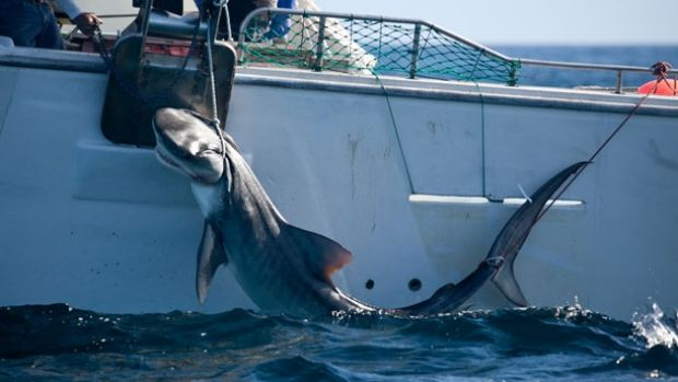 A Tiger shark caught off the Perth coast on drum lines as part of WA's controversial program to protect water-goers.