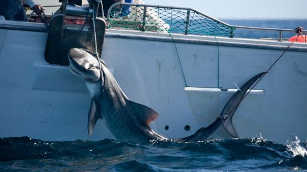 A Tiger shark caught off the Perth coast on drum lines.