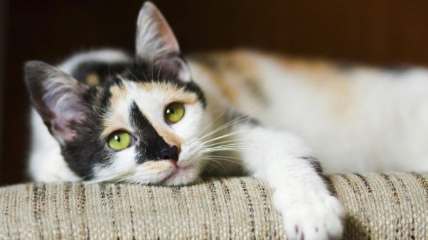 """Mr Rattenbury introduced a bill on Wednesday changing the word """"curfew"""" to """"cat containment"""" in the Domestic Animals Act ..."""