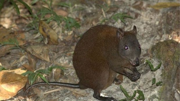 Scientists have learned tropical rainforests are essential to musky rat-kangaroos' survival, prompting calls for their ...