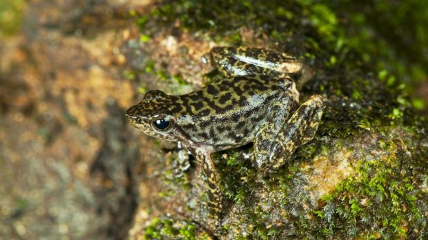 One of the 14 new species of Indian dancing frogs.