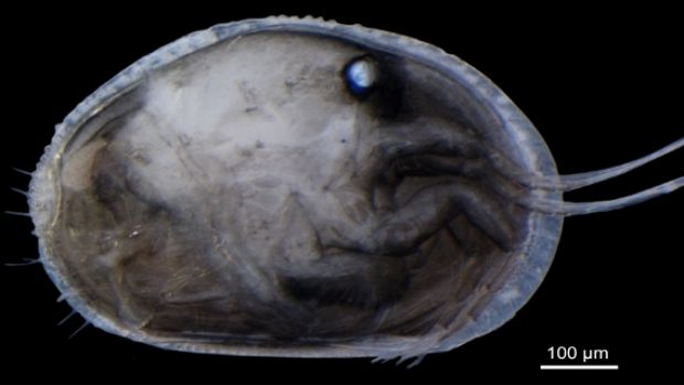 A specimen of the modern Australian ostracod <em>Newnhamia fenestrata</em> with the right valve removed.