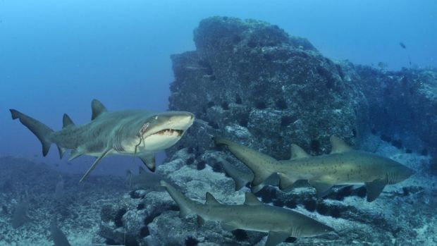 The people of Albany think there is a shark that regularly swims close to the coast and have nicknamed her 'Bronwyn'.