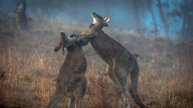 Clash: Greens minister Shane Rattenbury and his NSW party are at odds over the ACT government's kangaroo cull.