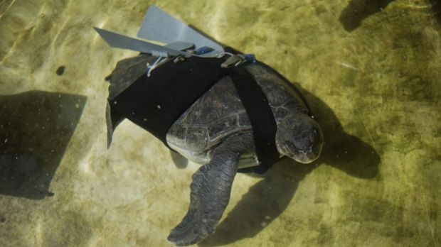 The green sea turtle swims with a prosthetic fin at the Sea Turtle Rescue Centre in Michmoret, Israel.