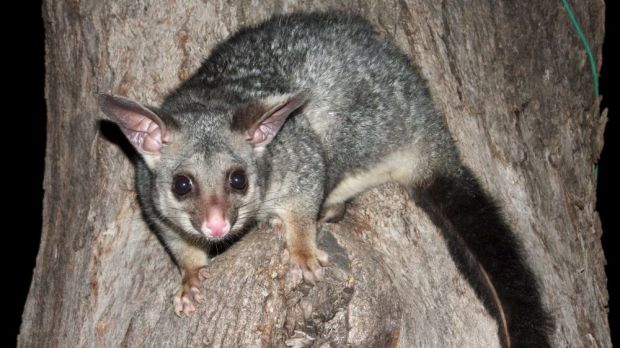 Crooks are targeting older residents, promising to repair their homes or remove possums from roofs before stealing from them.