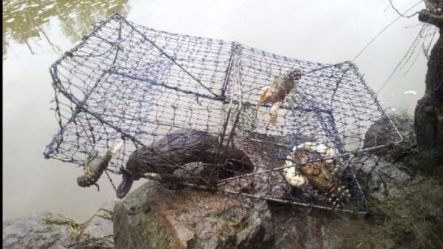 Illegal yabby traps pose a deathly risk to native wildlife, such as platypus.