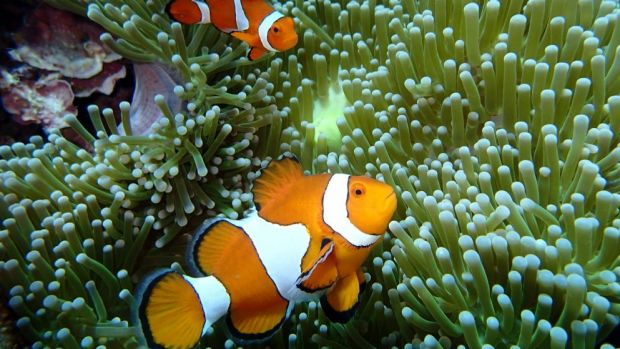 Anemone fish in tropical waters off Japan.