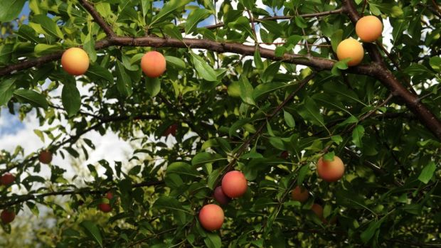 The impending ban on the use of the chemical fenthion has split Perth's fruit- growing community.