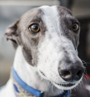 Affectionate: Opie, a rescued greyhound who is now in a loving family home.