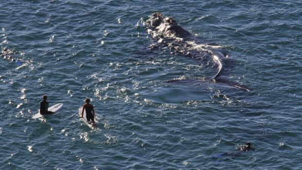 Southern right whales are known to move slowly near the surface of the water.