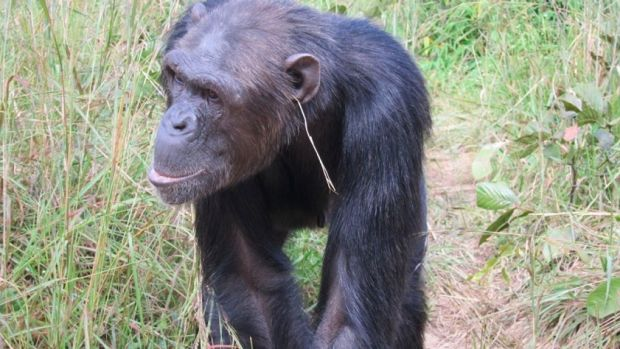 Julie, the trend-setting chimp.
