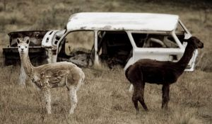 Tales of animals 'eating' parts off cars are a regular feature in insurance claim stories.