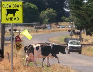 When it comes to car versus cow sometimes the vehicle comes off second best.