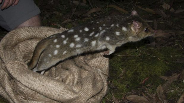 Fourteen quolls were released in the fenced sanctuary in March.