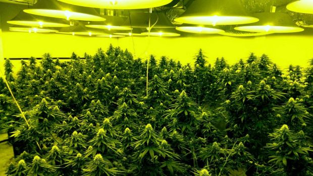 Police seized more than $2.5 million worth of cannabis plants when they raided Canberra houses in April.