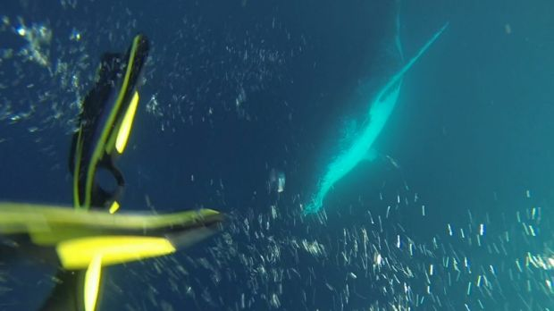 Sunreef Humpback Whale Swim Experience is the first of its kind in Australia.