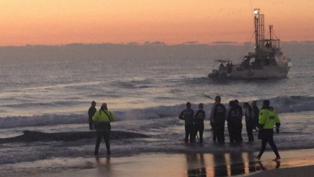 Sea World staff work to rescue a beached whale at Palm Beach.