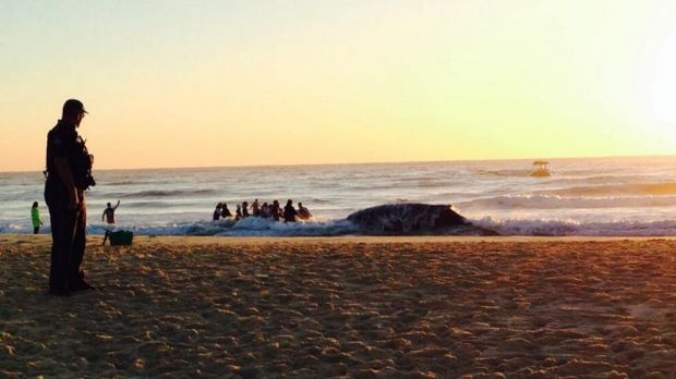 A rescue effort continues on Thursday for a whale stranded at Palm Beach.