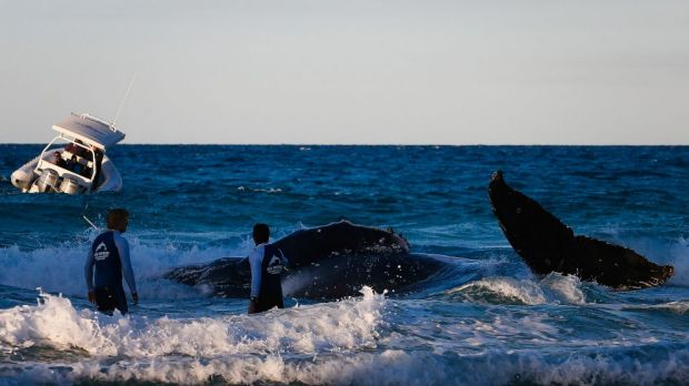 Rescuers work to free a stranded whale at Palm Beach.