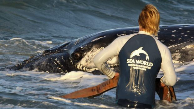 A Sea World worker tries to fit a harness on the whale.