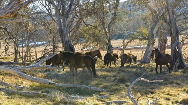 Pests: Wild horses in Kosciuszko National Park.