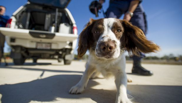 English springer spaniel Boone reports for duty with the ACT Corrective Services' K9 Unit.